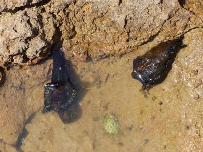 limaces de mer, volant dans une flaque