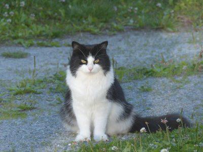 Era, la chatte norvégienne de Turid