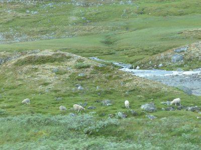 des moutons tout seuls