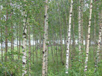 bosquet de bouleaux