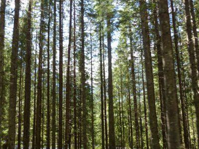 les forêts de résineux, en bas.