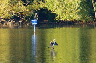 """des cormorans sous le panneau """"pêche interdite"""" !"""